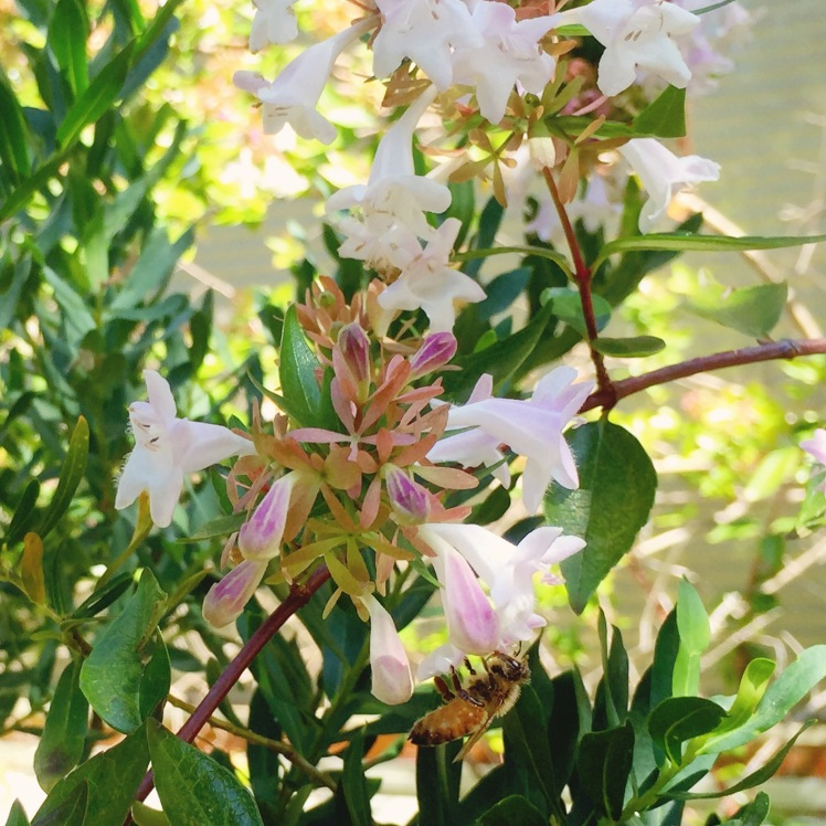 Broulee - Beach House - White flowers - bee